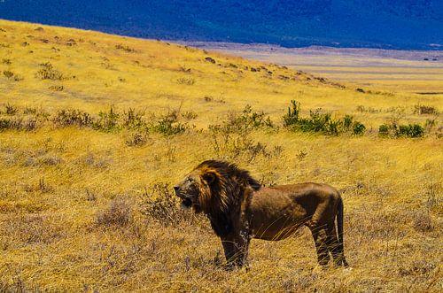 Leeuwen in Afrika van olaf groeneweg