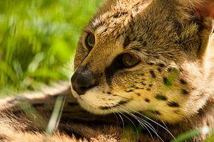 Serval lekker lui.