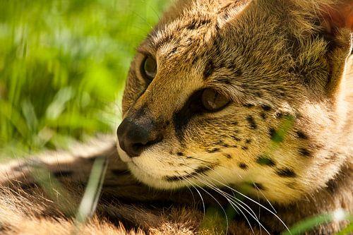 Serval lekker lui. van