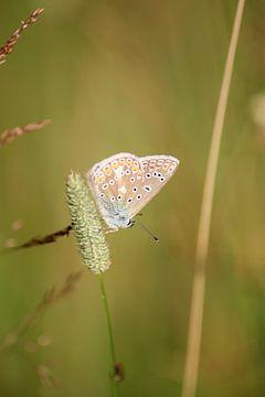 Icarusblauwtje mooi van Shirley Douwstra