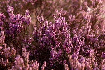 Blühende violette Heidekrautblüten. von Karijn Seldam