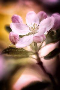 Apfelblüten im pinkfarbenem Licht