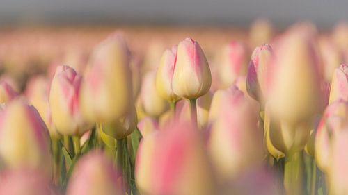 In een bollenveld sta je als tulp nooit alleen