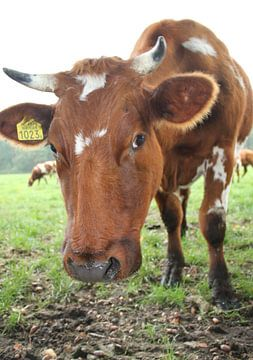 Kuh von Jayne Wilby