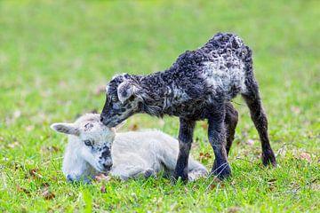 Pasgeboren zwart lammetje likt wit lam in groene wei van Ben Schonewille