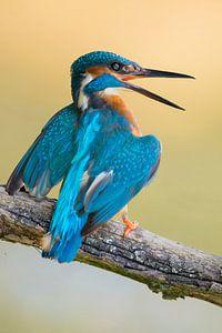 Common Kingfisher * Alcedo atthis * defending its territory
