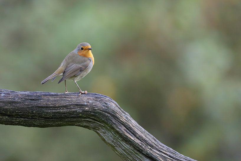 Robin auf der Lauer von Karin van Rooijen Fotografie