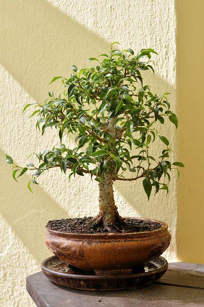 Bonsai van een Ficus benjamina van Heiko Kueverling