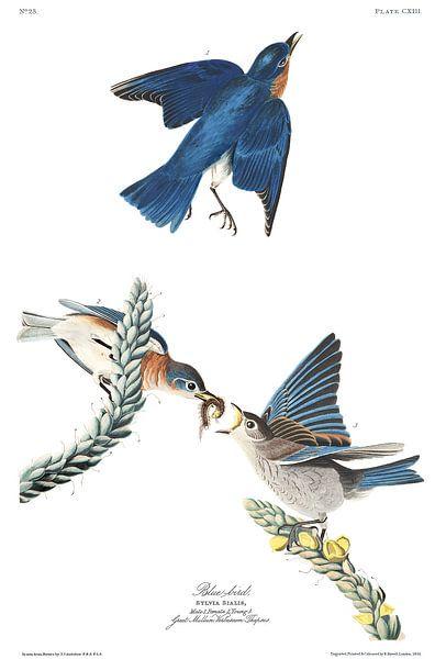 Roodkeelsialia van Birds of America