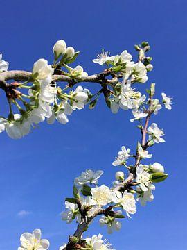 Blüte auf einem Obstbaum im Frühjahr von Sandra van der Burg