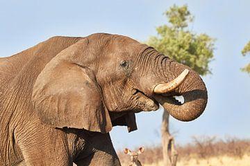 Drinkende Afrikaanse olifant van Jolene van den Berg