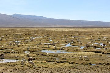 Lama's en alpaca's van Martin van den Berg Mandy Steehouwer
