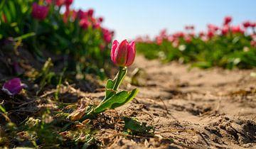 Tulpenveld met een buitenstaander. van Michel Knikker