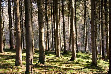Zonnige bos van