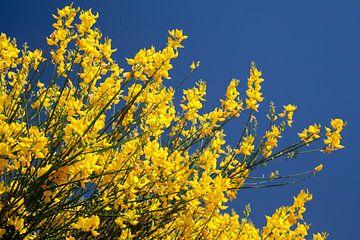 Gele struik in bloei von Dennis Claessens