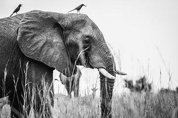 Olifant / Afrikaans dier / Zwart-wit / Natuurfotografie / Oeganda van Jikke Patist