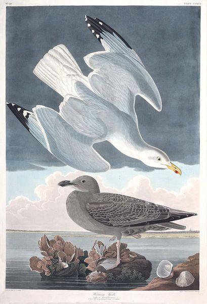 Zilvermeeuw van Birds of America