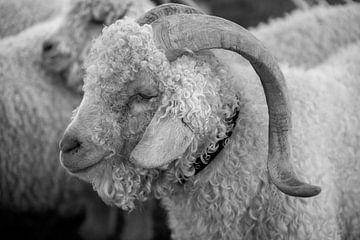 Schafe von Bo Scheeringa Photography