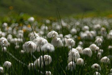Harige grasjes in het veld (wolgras) van Jonathan Vandevoorde