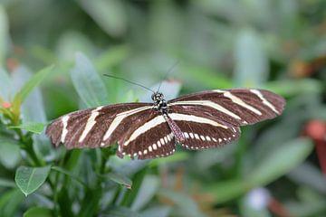Bruin met wit gestreepte vlinder van Kim de Been