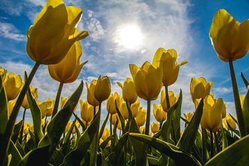 Gelbes Tulpenfeld in der Sonne von Eveline Dekkers