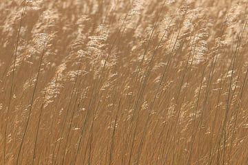 Bruin gras riet met pluimen van Bobsphotography