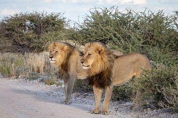 Twee leeuwen staan langs de weg van OCEANVOLTA