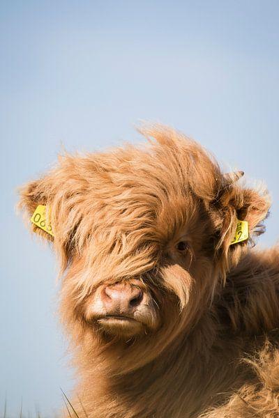 Schotse Hooglander kijkt recht in de camera van Mascha Looije