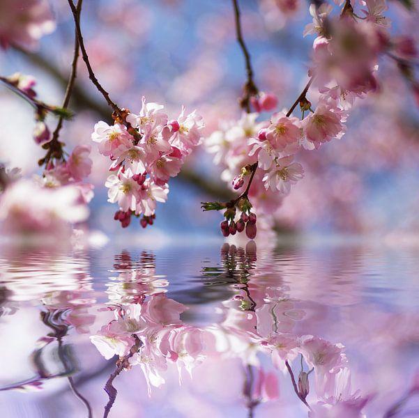 Kirschblüten Traum  von Tanja Riedel