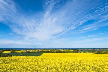 Blick über blühende Rapsfelder auf die Ostsee bei Kühlungsborn von Rico Ködder