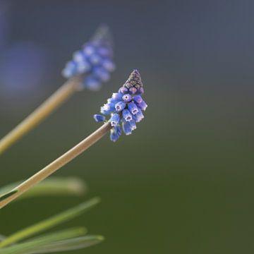 Blauer Muskari von Mayra Pama-Luiten