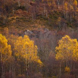 Gele berken van Ton Drijfhamer