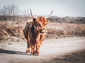 Schottischer Highlander genießt die Sonne in Brabant von John van den Heuvel