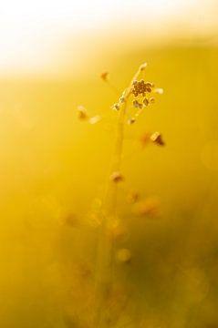 Goldene und gelbe Sommer Morgen Sonne (dämmerung) Blume in der Morgen Dämmerung Makro, mit Tiefensch von John Quendag