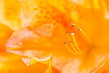 Orangene Blüte (Azalee) von Joram Janssen
