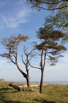Küstenbaüme von Ostsee Bilder