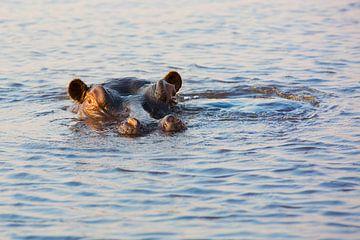Big Hippo Is Watching You (Nijlpaard)  von Dexter Reijsmeijer