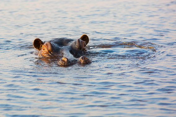 Big Hippo Is Watching You (Nijlpaard)