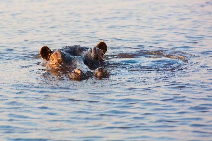 Big Hippo Is Watching You (Nijlpaard)  van Dexter Reijsmeijer