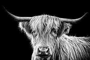 Hooglander koe in zwart wit