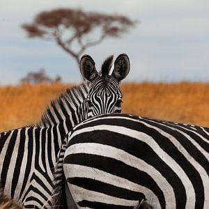 Zebra's in het Tarangire National Park, Tanzania. van