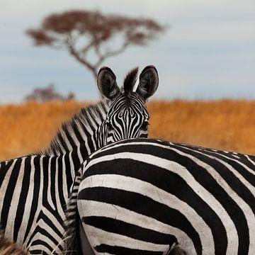 Zebra's in het Tarangire National Park, Tanzania. von Alida Stuut