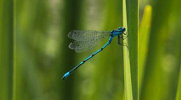 Blauwe waterjuffer von Cilia Brandts
