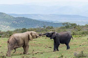 Een grijze en een zwarte olifant in een duel in Addo Elephant Park in Zuid-Afrika van WorldWidePhotoWeb