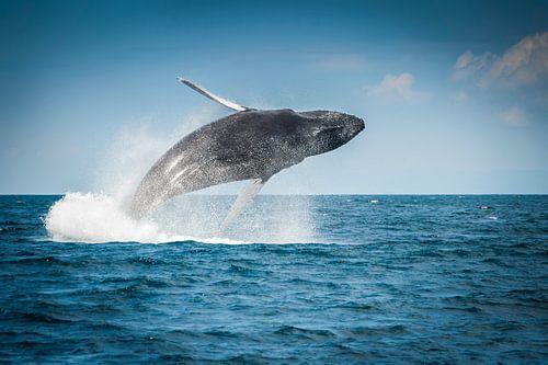 bultrug walvis humpback whale van