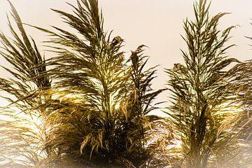 Pampasgras von Lynlabiephotography