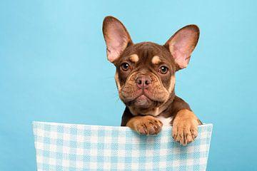 Französische Bulldogge Welpe in einem blauen Korb von Elles Rijsdijk