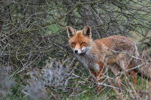 Fuchs in den Dünen der Amsterdamer Wasserversorgung von Lex van Doorn