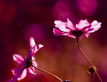 Rosa Cosmea Blumen mit rosa Bokeh von Anne Ponsen