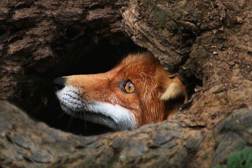 Rode vos van Renate Peppenster